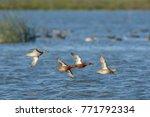 Cinnamon Teal Duck Flying Low...