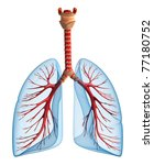 Lungs - pulmonary system. Front view, isolated on white - stock photo