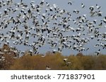 snow geese bosque del apache ... | Shutterstock . vector #771837901
