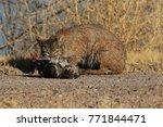 bobcat lynx rufus bosque del...   Shutterstock . vector #771844471