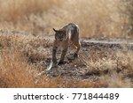 bobcat lynx rufus bosque del...   Shutterstock . vector #771844489