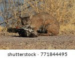 bobcat lynx rufus bosque del...   Shutterstock . vector #771844495