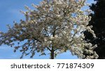 photo of white blossom young... | Shutterstock . vector #771874309