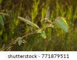 mimosa pigra  giant sensitive... | Shutterstock . vector #771879511