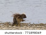 wet north american porcupine... | Shutterstock . vector #771898069