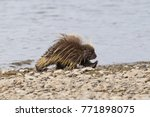 wet north american porcupine... | Shutterstock . vector #771898075