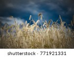 field of wheat with dramatic... | Shutterstock . vector #771921331