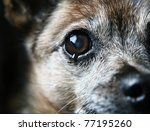 an old chihuahua eye with a tear in it - stock photo