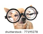 a cute chihuahua with glasses - stock photo