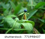 paris herb berry  paris... | Shutterstock . vector #771998437