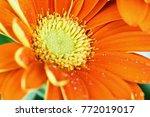abstract of an orange gerber... | Shutterstock . vector #772019017