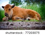 A Baby Buffalo Laying In A...