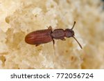 the sawtoothed grain beetle... | Shutterstock . vector #772056724