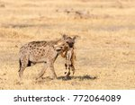 isolated spotted hyena walking... | Shutterstock . vector #772064089
