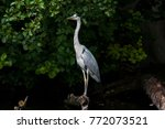 a grey heron  ardea cinerea  in ...   Shutterstock . vector #772073521