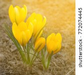 yellow crocus flower | Shutterstock . vector #772074445
