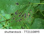 Small photo of Sycamore with Tar Spot