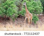 thornicroft girafe sanding in... | Shutterstock . vector #772112437
