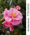 beautiful large camellia flower ... | Shutterstock . vector #772115515