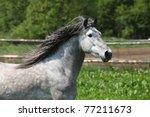 Carthusian Horse   The Purest...