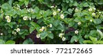 strawberry plant. blossoming ... | Shutterstock . vector #772172665