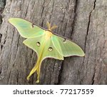 Luna Moth  Actias Luna  On Sid...