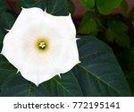 Datura Flower  Moonflower...