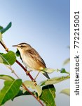 Small photo of Sedge Warbler (Acrocephalus schoenobaenus). Russia, the Ryazan region (Ryazanskaya oblast), the Pronsky District.