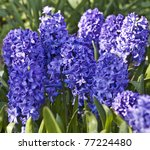 Few Flowers Of Blue Hyacinth...