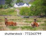 family of deer in the scottish... | Shutterstock . vector #772263799
