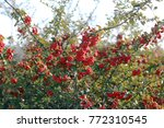 Red Pyracantha Berry And Branch