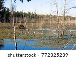 beaver lodge in the middle of... | Shutterstock . vector #772325239