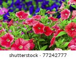 Colorful Petunias Close Up ...