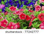 Colorful Petunias Close Up ...