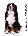 Stock photo berner sennenhund dog isolated on white 77243008