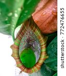 carnivorous nepenthes plant ...   Shutterstock . vector #772476655