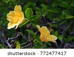 yellow chinese rose detail | Shutterstock . vector #772477417