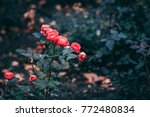the pink cluster rose in the... | Shutterstock . vector #772480834
