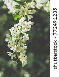 White Flowers Of Wild Cherry....