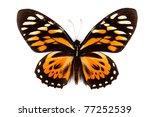 Stock photo balck and orange butterfly papilio zagreus isolated on white background 77252539