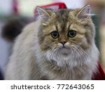 Stock photo portrait of a gray and silver siberian cat gorgeous kitten cat of siberian breed sitting on sofa 772643065