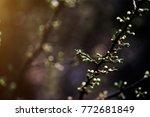 fresh cherry blossoms | Shutterstock . vector #772681849