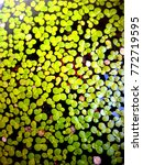Small photo of Azolla leaves for fish