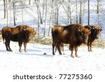 Three Wild Bisons In The Winte...