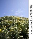 widflower daisies california springtime - stock photo