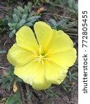 Yellow Evening Primrose  Ozark...