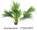 young betel palm on isolate...   Shutterstock . vector #772812097
