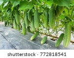 Cucumber Growing At Farm...