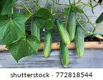 Closeup Cucumber Growing At...