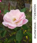 Pink Wild Rose Blooming In The...